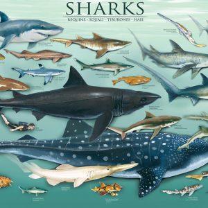 Puzzle Sharks 1000 pièces Eurographics